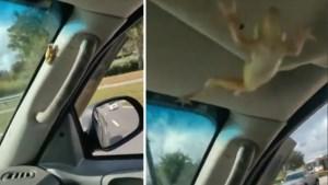 Man panikeert en crasht bijna als hij dit diertje in zijn auto ontdekt