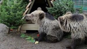 Albanese beertjes ondergedompeld in kerstsfeer dankzij Ikea kerstbomen