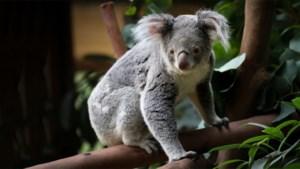"""Vierde koala in twee jaar overleden in Pairi Daiza: """"Mogelijk altijd een raadsel"""""""