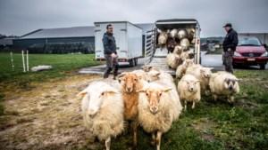 Schapendrijvers strijden midden in wolvengebied om WK-ticket