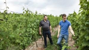 2019 was een uitstekend wijnjaar voor Belgische en Limburgse wijnen