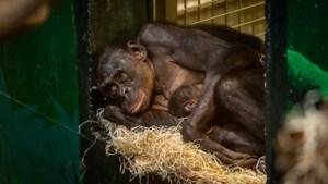 Bonobo geboren in Zoo Planckendael