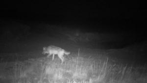 """Dit zijn de eerste beelden van wolvin Noëlla: """"Kans op nieuwe welpjes"""""""