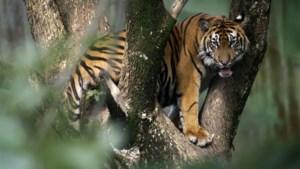 Man verjaagt tijger per ongeluk richting nichtje, die levend verscheurd wordt