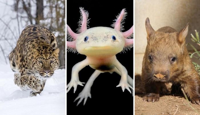 Tien om te zien (zolang het nog kan): dit zijn de meest bedreigde diersoorten ter wereld