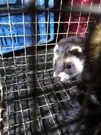 Bunzing komt vast te zitten in rattenval