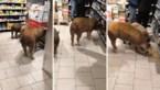 Groep varkens bekijkt de solden in supermarkt en grijpt zelfs naar de fles