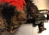 Kat komt met poot in vossenklem terecht in Borgloon