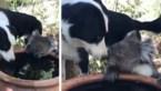 Vertederend moment tijdens bosbranden Australië: liefde is groot tussen hond en koala die samen water drinken