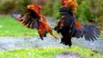 28 vechthanen geëuthanaseerd na inval bij Hoeseltse hanenvechters