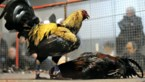 Hanengevechten zijn al 153 jaar verboden, maar vallen niet uit te roeien