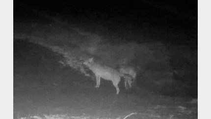 Leger helpt mee om wolvenpaar August en Noëlla te beschermen