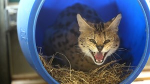 Grote illegale katten steeds populairder