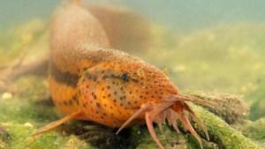 Verrassend: bijna uitgestorven grote modderkruiper zwemt al tot in Lummen