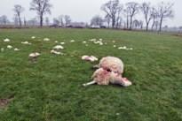 Twee schapen doodgebeten in Wijchmaal