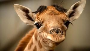 Planckendael verwelkomt babygiraf Valeye