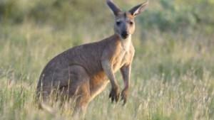 Supermarktketens stoppen met kangoeroevlees