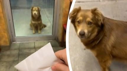 Hongerige straathond bezoekt elke dag restaurant en wacht geduldig op eten