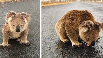 Dorstige koala moet regenwater van de straat likken