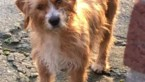Zwerfhondje in Kanne na dikke maand eindelijk gevangen: baasje gezocht