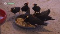 Natuurhulpcentrum vangt illegale exotische vogels op