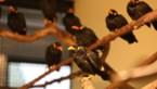 21 grote beo's in Natuurhulpcentrum: eigenaar smokkelde vogels onder valse soort land in
