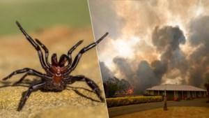 """Australië krijgt nu ook plaag van """"de gevaarlijkste spinnen ter wereld"""" te verwerken"""