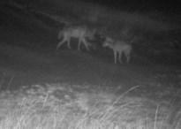 "Welkom Wolf: ""Limburg heeft een derde wolf"""