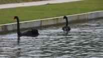 Zwarte zwaan terug thuis in Tongeren