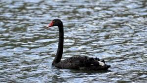 """De zwarte zwaan van Tongeren overleden: """"Uitwendig is er niets mis mee"""""""