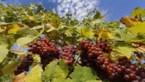 """""""Klimaatopwarming bedreigt meer dan de helft van alle wijngebieden wereldwijd"""""""