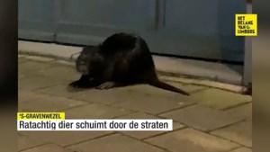 """En plots loopt dit 'monster' rond in Vlaamse winkelstraat: """"Ik dacht eerst dat het een kat was"""""""