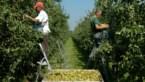 Prijs Belgische peren met kwart omhoog
