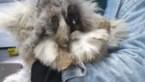 """Negen verwaarloosde konijnen in beslag genomen: """"Ze zijn er erg aan toe"""""""