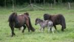 Twee pony's en twee kippen weggehaald in leegstaand huis
