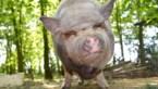 Zeer agressief hangbuikzwijn in Bilzen met grote middelen weggehaald