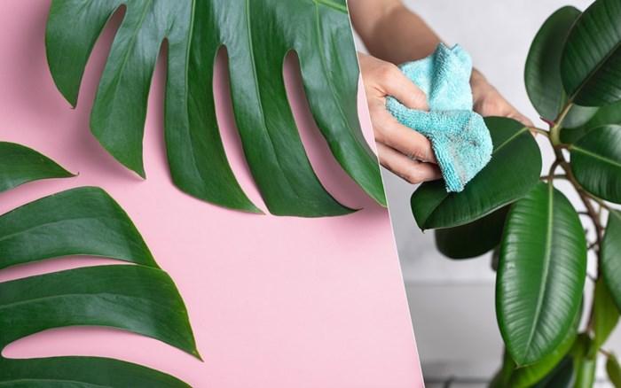 Wist je dat je planten ook moet afstoffen? Zo doe je dat zonder bladeren kapot te maken