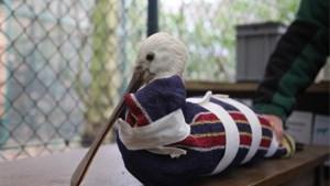 Zeldzame vogels vrijgelaten in Doel bij gebrek aan soortgenoten in Limburg