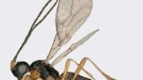 'Nieuwe' wespensoort ontdekt in Amsterdam