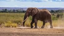 Met Big Tim sterft een van de laatste reuzenolifanten ter wereld