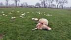 Nederlandse bioboer en politicus wil hek van 90 kilometer om wolf buiten te houden