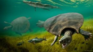 Overblijfselen van gigantische schildpad teruggevonden: dier was zo groot als een auto