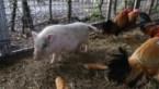 """Steeds meer varkens gedumpt: """"Biggetjes zijn heel schattig, maar ze worden groot"""""""