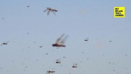 Afrikaanse landen geteisterd door sprinkhanenplaag van Bijbelse proporties