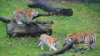 Bellewaerde verwelkomt vier zeldzame tijgers