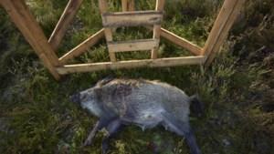 Jaagparadijs Limburg: bijna 90 procent van alle everzwijnen hier geschoten