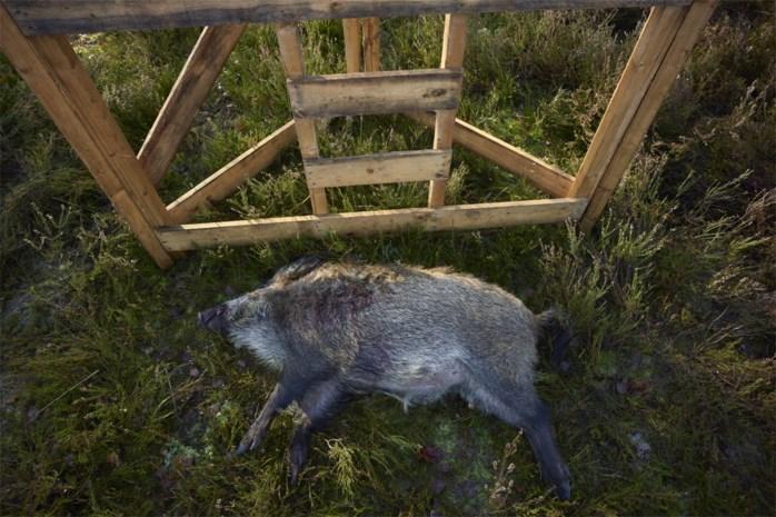 Limburg blijft veruit provincie waar meeste groot wild wordt geschoten