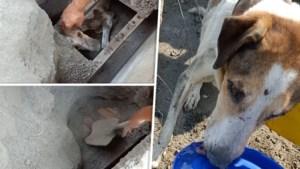 Hond levend begraven na uitbarsting vulkaan, maar wordt 15 dagen later teruggevonden