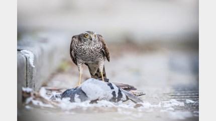 """Sil Janssen: """"Uitspraken van duivenmelkers over roofvogels zijn van de pot gerukt"""""""