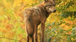 """Aanwezigheid wolf in Malmedy bevestigd: """"goed nieuws voor de natuur"""""""